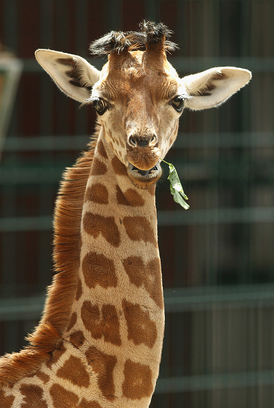 Giraffe「Baby Giraffe Born At Berlin Zoo」:写真・画像(15)[壁紙.com]
