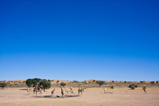Giraffe「Herd of Giraffa giraffa, Southern giraffe, at waterhole, Kgalagadi Transfrontier Park, Northern Cape, South Africa, Kgalagadi District, Botswana」:スマホ壁紙(6)