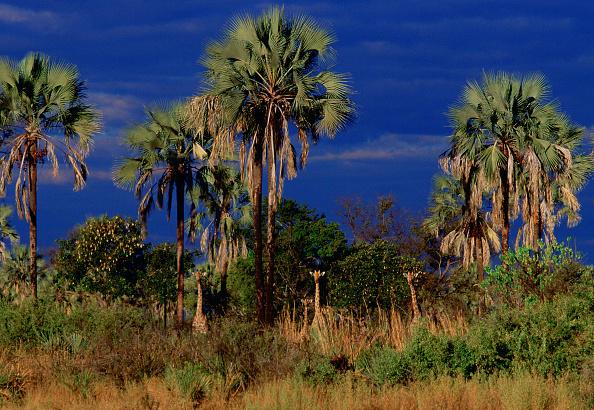 Hiding「Giraffes at Moremi National Park, Botswana」:写真・画像(12)[壁紙.com]