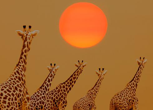 Giraffe「Herd of Giraffes.」:スマホ壁紙(9)