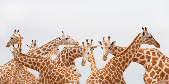 Giraffe「Herd of giraffe.」:スマホ壁紙(17)
