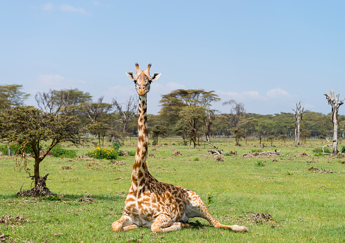 Giraffe「Giraffe, animal in Africa, Kenya, Lake Naivasha」:スマホ壁紙(0)