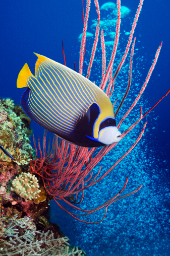 Soft Coral「Emperor angelfish (Pomacanthus imperator) swimming」:スマホ壁紙(12)