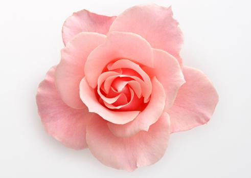 花「Rose」:スマホ壁紙(6)