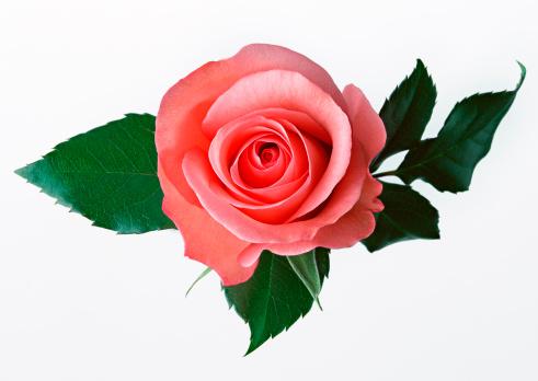バラ「Rose」:スマホ壁紙(13)