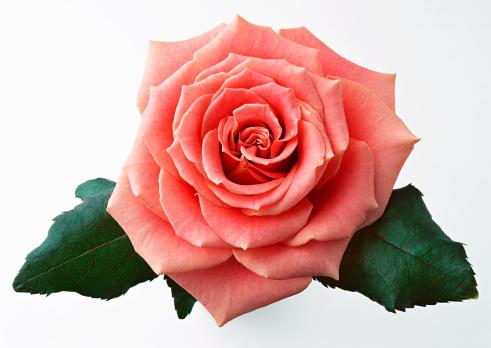 薔薇「Rose」:スマホ壁紙(14)