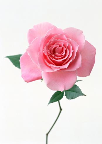 薔薇「Rose」:スマホ壁紙(4)