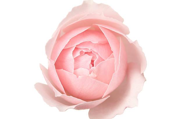 Rose:スマホ壁紙(壁紙.com)