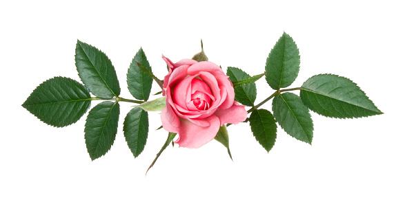 薔薇「ローズます。」:スマホ壁紙(1)