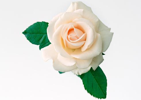 薔薇「Rose」:スマホ壁紙(6)