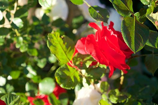 赤「Rose」:スマホ壁紙(10)