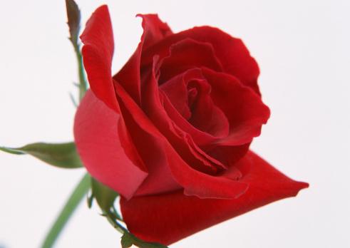 花「Rose」:スマホ壁紙(7)