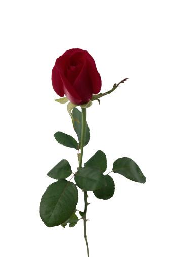とげのある「Rose」:スマホ壁紙(14)