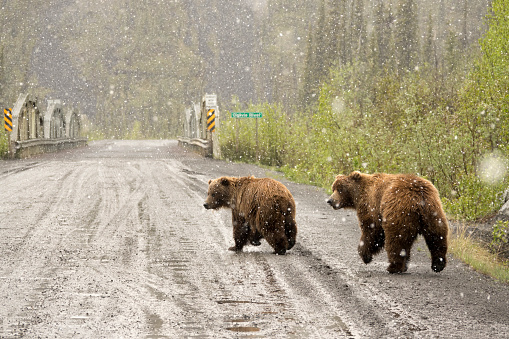 Yukon「Grizzly pair walk snowy Dempster Highway Yukon Territory Tiaga Range Ogilvie Mountains」:スマホ壁紙(11)