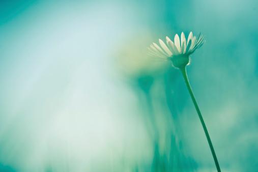 花畑「デイジーのフィールド」:スマホ壁紙(17)
