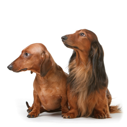 Long Hair「Two Dachshunds, one long haired and another short haired.」:スマホ壁紙(16)