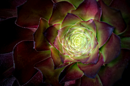 Compatibility「Glowing Sempervivum  Plant」:スマホ壁紙(6)