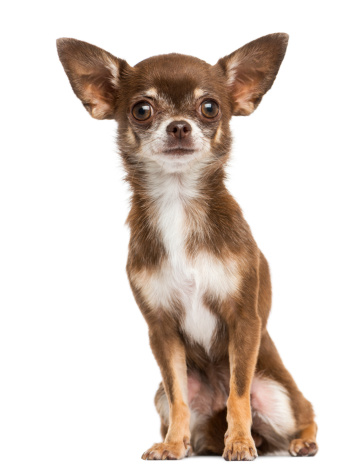 Chihuahua - Dog「Front view of a Chihuahua sitting」:スマホ壁紙(7)