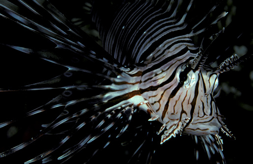 熱帯魚「Front view of an Indian lionfish (Pterois miles), South Ari Atoll, Maldives.」:スマホ壁紙(17)