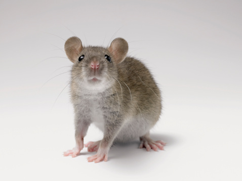 Animal Whisker「Front View Studio Shot of a Rat Standing Sniffing」:スマホ壁紙(6)