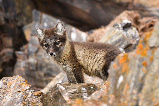 Svalbard Islands「Front View of an Arctic Fox Cub, Svalbard Islands」:スマホ壁紙(3)
