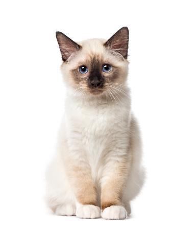 純血種のネコ「Front view of a Birman kitten sitting, 3 months old, isolated on white」:スマホ壁紙(10)