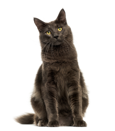 Purebred Cat「Front view of a Maine Coon sitting」:スマホ壁紙(8)