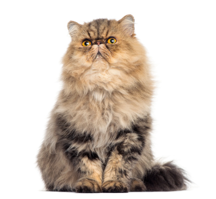 ペルシャネコ「Front view of a grumpy Persian cat」:スマホ壁紙(5)