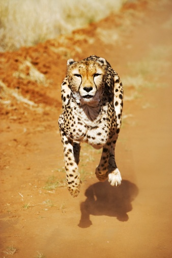 Animal Ear「Front View of a Female Cheetah (Acinonyx jubatus) Running」:スマホ壁紙(10)