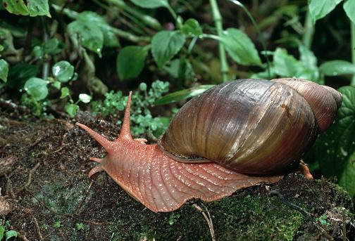 Montane Rainforest「Giant Land Snail」:スマホ壁紙(14)