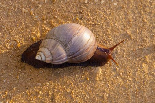 snails「Giant Land Snail, Kruger National Park, South Africa」:スマホ壁紙(6)