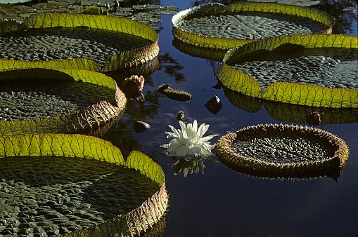 Water Lily「Victoria cruziana (Santa Cruz water lily, water platter, irupe) - flower」:スマホ壁紙(11)