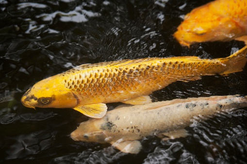Carp「Koi Fish In Water In Glover Garden; Nagasaki, Japan」:スマホ壁紙(1)
