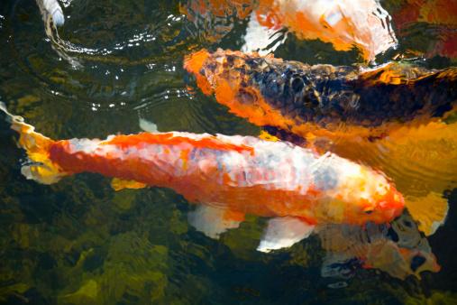 Carp「Koi fish in water, high angle view」:スマホ壁紙(11)