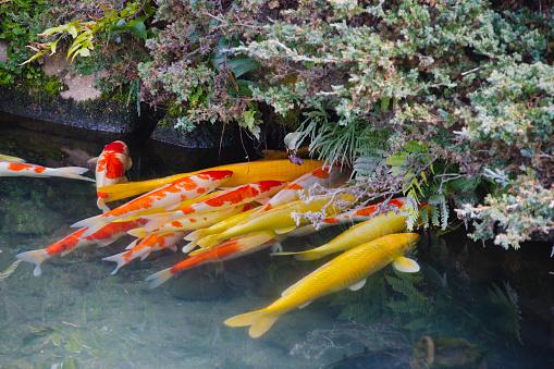 Carp「Koi fish in the pond」:スマホ壁紙(4)