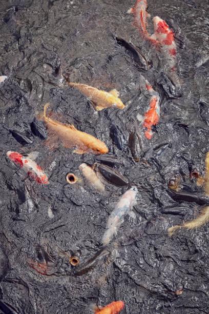 Koi Fish In Water:スマホ壁紙(壁紙.com)