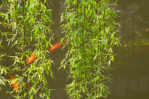 Carp「Koi fish in pond seen through willow tree」:スマホ壁紙(8)