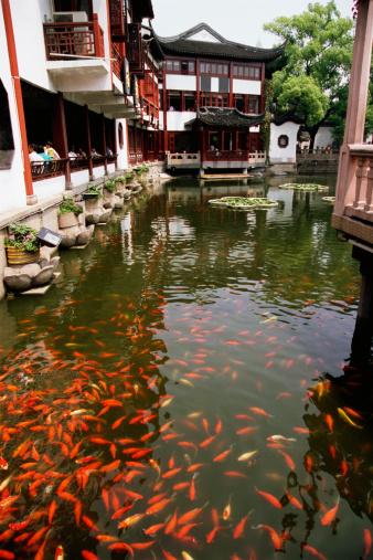 Carp「Koi fish in pond, Yu Garden, Shanghai, China」:スマホ壁紙(12)