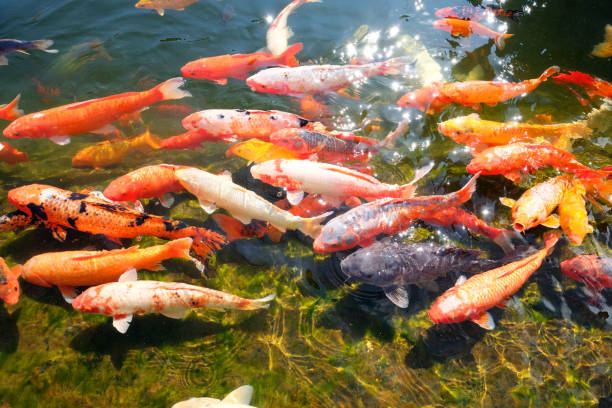 Koi Fish in a pond during the day glistening in the sun.:スマホ壁紙(壁紙.com)