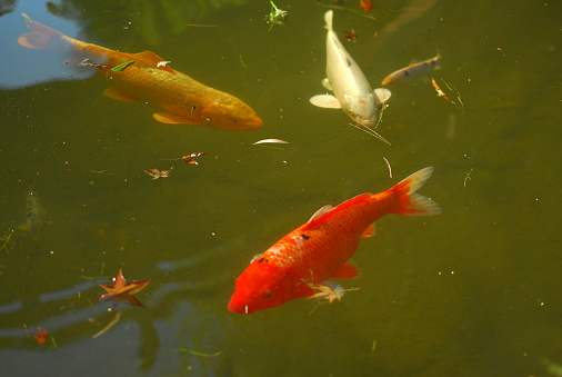 Carp「Koi fish in pond」:スマホ壁紙(6)