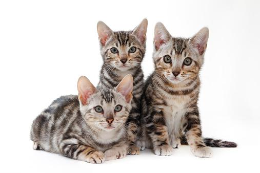 Three Animals「Bengal」:スマホ壁紙(7)