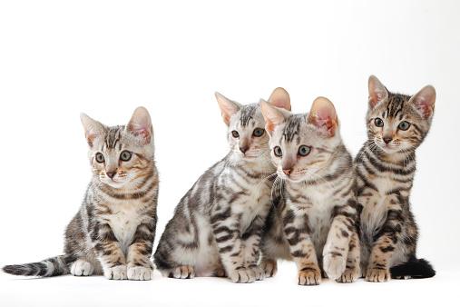 Kitten「Bengal」:スマホ壁紙(3)