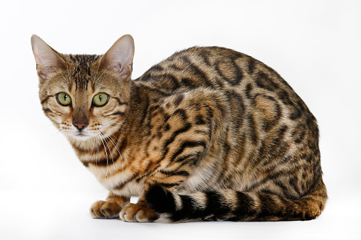 ベンガル猫「Bengal」:スマホ壁紙(1)
