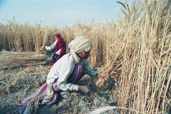Agriculture「Wheat Harvest In India」:写真・画像(3)[壁紙.com]