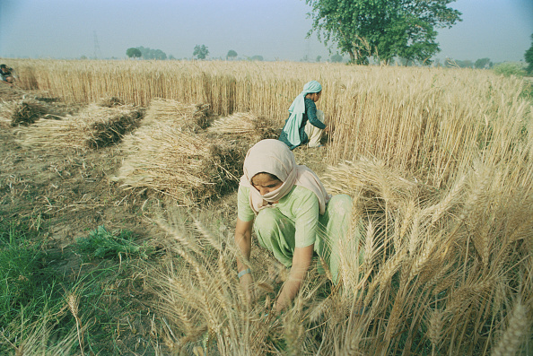 Grass Family「Wheat Harvest In India」:写真・画像(13)[壁紙.com]