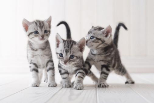 Kitten「Three American shorthair playing」:スマホ壁紙(9)