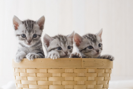 Kitten「Three American shorthair in a basket」:スマホ壁紙(19)