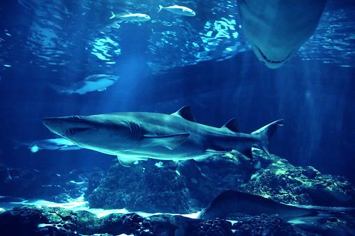 Animals Hunting「swimming sharks」:スマホ壁紙(3)