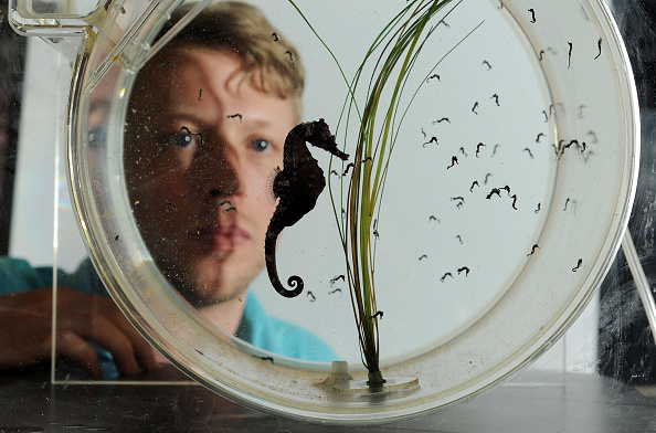 魚・熱帯魚「The SEALIFE London Aquarium Introduce Baby Seahorses」:写真・画像(9)[壁紙.com]