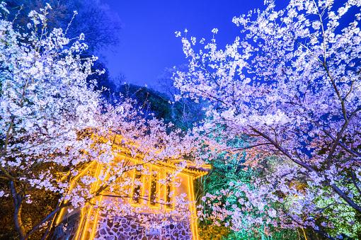 夜桜「Turtle Head Islet to enjoy the night view of cherry blossoms,Wuxi,Jiangsu Province,China」:スマホ壁紙(11)